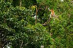 Proboscis Monkey (Nasalis larvatus) female in tropical rainforest tree, Kinabatangan River, Sabah, Borneo, Malaysia