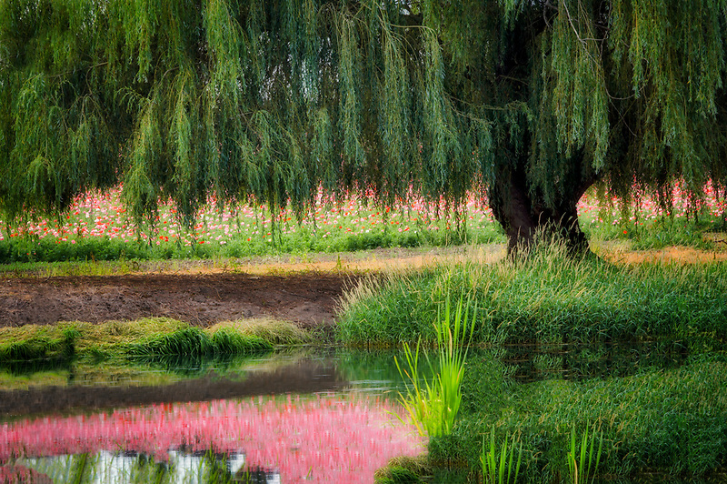 Pond, weeping willow and poppies. Near Silverton. Oregon