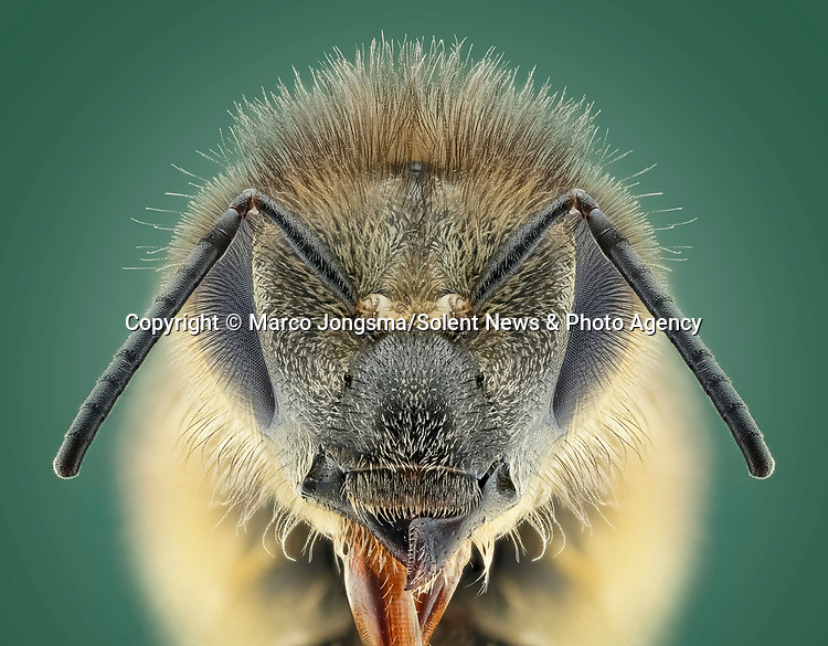 Pictured:  Honey bee.<br /> <br /> A series of mesmerising close-up images of insects make them look like aliens.  Photographer Marco Jongsma captured the macro shots of a range of bugs including a cuckoo wasp and a crab spider.<br /> <br /> The pictures detail the intricate features and patterns of the insects - from the bulging yellow eyes of a tiger beetle to the delicate hairs on a honey bee.  The 34-year-old used a macro lens and a microscope to picture the insects in a laboratory at his home in Lemmer, the Netherlands.  SEE OUR COPY FOR DETAILS.<br /> <br /> Please byline: Marco Jongsma/Solent News<br /> <br /> © Marco Jongsma/Solent News & Photo Agency<br /> UK +44 (0) 2380 458800