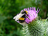 A Bee feeding on a Thistle flower on the South Downs, West Sussex, UK<br /> <br /> Stock Photo by Paddy Bergin