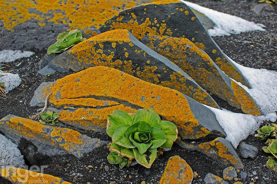 Kerguelen Cabbage and lichens on Heard Island, Antarctica