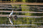 Damon, Texas; a cattle egret perched on a small tree stump in the lake while foraging for food in late afternoon light