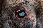 Bull moose close-up of eye.