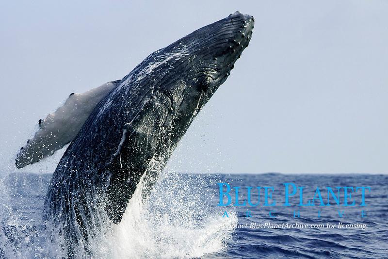 humpback whale, Megaptera novaeangliae, calf, breaching, Chichi-jima, Bonin Islands, Ogasawara Islands, Natural World Heritage Site,  Tokyo, Japan, Pacific Ocean