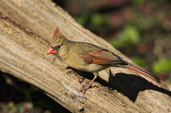 Northern Cardinal (Cardinalis cardinalis) female. Carolinian Forest near Point Pelee National Park. Spring. Lake Erie, Ontario. Canada.