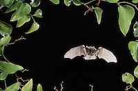 Rafinesque's Big-Eared Bat (Corynorhinus rafinesquii),adult in flight, Raleigh, Wake County, North Carolina, USA
