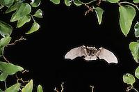Rafinesque's Big-Eared Bat (Corynorhinus rafinesquii),adult in flight, Raleigh, Wake County, North Carolina, USA