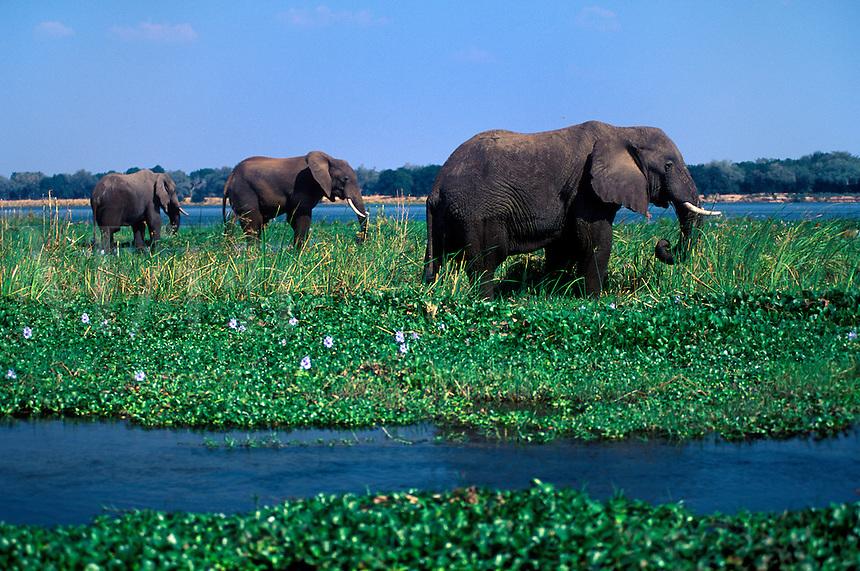 AFRICAN ELEPHANTS (Loxodanta Africana) forage in the shallows of the ZAMBEZI RIVER - ZIMBABWE