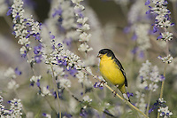 Lesser Goldfinch, Carduelis psaltria, black-backed male on Mealy sage (Salvia farinacea), Uvalde County, Hill Country, Texas, USA