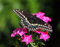 Male black swallowtail