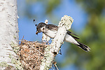 Eastern kingbird at nest site