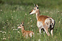 Pronghorn Antelope (Antiloapra americana) doe with fawn.  Western U.S., June.