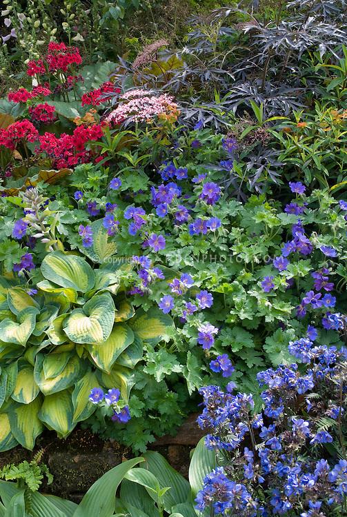 Hosta, Geranium Rozanne, Bergenia, Sambucus , blue Polemonium, hostas for beautiful planting combination of flowering plants and foliage planting