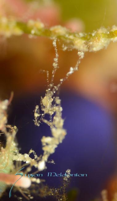 Caprella sp, skeleton shrimp, Anilao