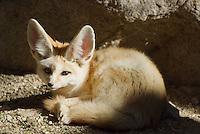 Fennec Fox.Vulpes zerda.