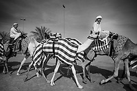 United Arab Emirates (UAE). Dubai. The Dubai Camel Racing Club is located along the Al Ain road, in Al Marmoom Dubai. Camels training with handlers riding animals. A robot jockey wearing the number 2 is strapped to a camel (C). A robot jockey is commonly used on camels in camel racing as a replacement for human jockeys. Robotic jockeys are used and include shock absorbers and GPS tracking systems. Developed since 2004, the robotic jockeys have phased out the use of human jockeys, which in the case of camel racing did often employ small children who reportedly suffer repeated systemic human rights abuses. In response to international condemnation of such abuses, the UAE have banned the use of human jockeys in favor of robots. During the races, the camels' owners control the robots' whips from their speeding four-wheel drives at the side of the track. With its centuries-old history and culture, camel racing is an extremely well-loved and intimate part of Arab culture. The race is fought on traditional thoroughbred racing camels that are native and distinct to UAE. The United Arab Emirates (UAE) is a country in Western Asia at the northeast end of the Arabian Peninsula. 17.02.2020  © 2020 Didier Ruef