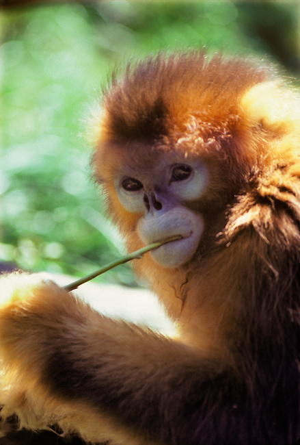A Golden Monkey in the Oregon Zoo, in Portland, Oregon.
