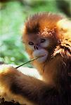 A Golden Monkey in the Oregon Zoo, in Portland, Oregon.