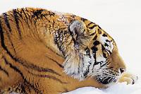 Siberian Tiger sleeping.