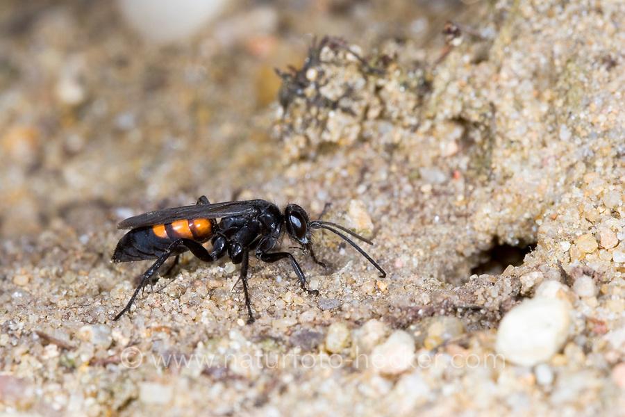 Frühlings-Wegwespe, Frühlingswegwespe, am Nesteingang, Anoplius viaticus, Anoplius fusca, black-banded spider wasp, Pompilidae, Wegwespe, spider wasps, pompilid wasps, spider wasp, pompilid wasp, les Pompiles