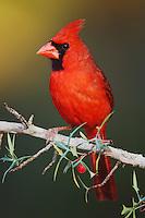 Northern Cardinal, Cardinalis cardinalis, male on Agarita (Berberis trifoliolata), Uvalde County, Hill Country, Texas, USA, April 2006