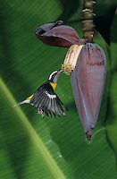 Bananaquit, Coereba flaveola, adult feeding on Banana blossom, Luquillo, Puerto Rico, USA