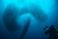 Bryde's whale, Balaenoptera edeni, plunges through a baitball of sardines, Sardinops sagax, as Charles Maxwell films, South Africa ( #2 of 3 )