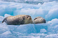 Harbor seal adult and pup rest on a glacier iceberg, Nassau fjord, Chenega glacier, Western Prince William Sound, Alaska