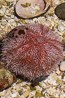 Essbarer Seeigel, See-Igel, Eßbarer Seeigel, Echinus esculentus, edible sea urchin, common sea urchin