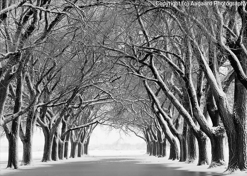 Snow-covered line of trees on Texas Tech campus.<br /> <br /> Nikon F3HP, 50mm lens, Ilford XP2 film