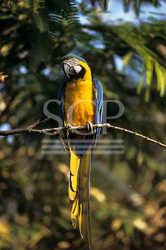 Amazon forest, Brazil. Yellow and blue macaw perched on a branch; Arara-canindé (Ara ararauna).
