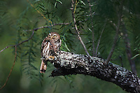 Ferruginous Pygmy-Owl, Glaucidium brasilianum, adult with lizard prey, Willacy County, Rio Grande Valley, Texas, USA, May 2007