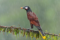 Montezuma Oropendola (Psarocolius montezuma) in the rain.  Central American bird photographed in Costa Rica.