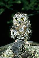 OW04-004b   Saw-whet owl - with shrew prey - Aegolius acadicus