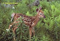 MA11-012z  White-tailed Deer - fawn - Odocoileus virginianus