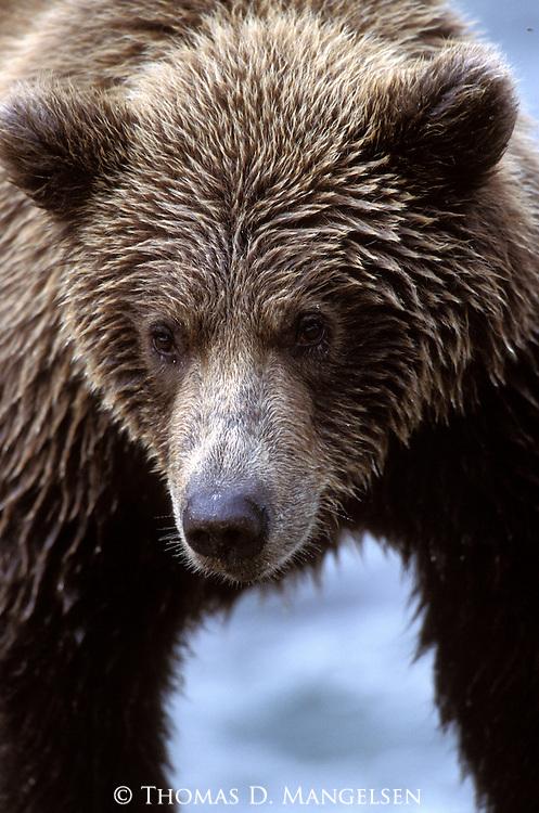 Alaskan Brown Bear (Ursus arctos) Southeast, AK
