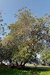 Israel, Carob trees in Sharon Park