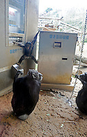Chimpanzees in Tama Zoo in the western suberbs of Tokyo buy soft drinks from a vening machine. The zoo, which is seen as one of Japan's most inovative, has installed a vending machine. The Chimps are given a ten yen yen coind which they insert into a vending machine and are given a can of fruit or vegetable juice.  Teh chimps then put the embty can into the waste machine for recycling.