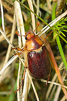 Brachkäfer, Junikäfer, Rhizotrogus maculicollis, June bug
