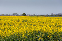 19-4-2021 Oilseed rape flowering<br /> ©Tim Scrivener Photographer 07850 303986<br />      ....Covering Agriculture In The UK....