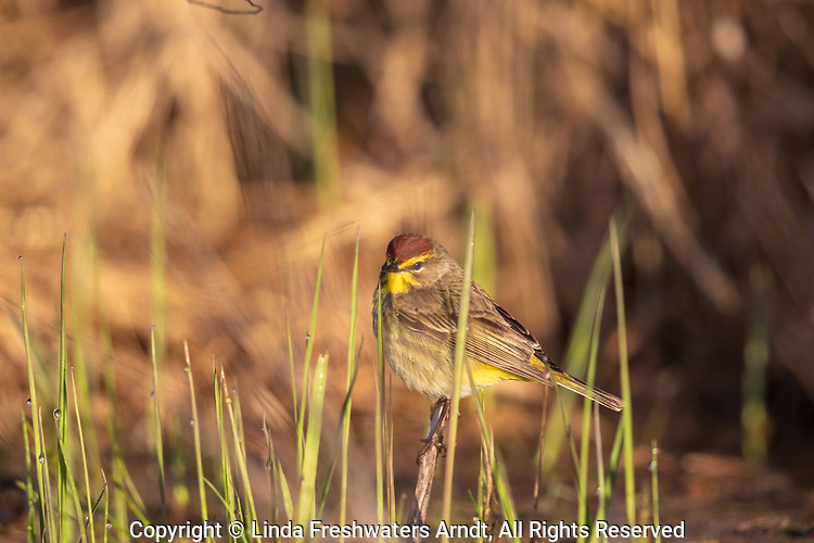 Palm warbler in the early morning light of northern Wisconsin.
