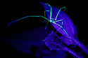 Harvestman (Opiliones) fluorescing under ultraviolet light at night. Cloud forest, Manu Biosphere Reserve, Peru. November.