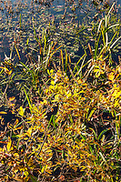 Colorful autumn wetland plants by the side of a pond, Connecticut, USA