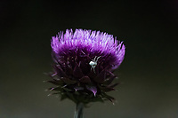 A bright purple thistle with a tiny white spider exploring its lower segments searching for food.