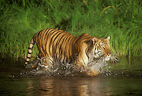 Bengal Tiger (Panthera tigris) playing in water