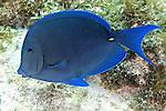 Acanthurus coeruleus, Blue tang, Florida Keys