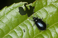 Blauer Erlenblattkäfer, Erlen-Blattkäfer, Agelastica alni, alder leaf-beetle