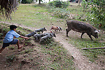 A Maya boy chases a pig and her piglets in the  Mayan village of San Miguel, Toledo, Belize