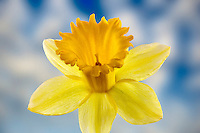 Dafodil close up.