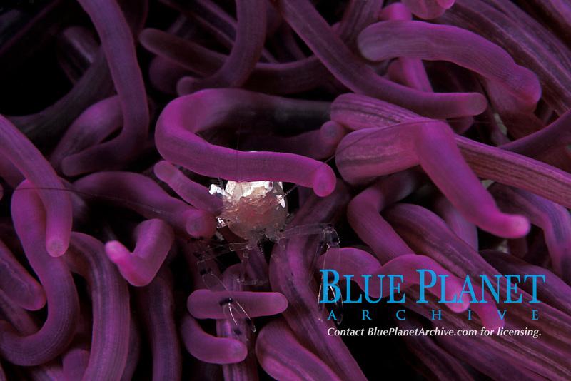 commensal shrimp, Periclimenes sp., in anemone, Heteractis magnifica, Mabul Island, off Borneo, Sabah, Malaysia (Celebes Sea), Pacific Ocean
